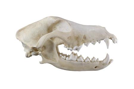 Foto de Dog skull  isolated on a white background - Imagen libre de derechos