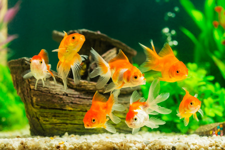 Foto de Goldfish in aquarium with green plants - Imagen libre de derechos