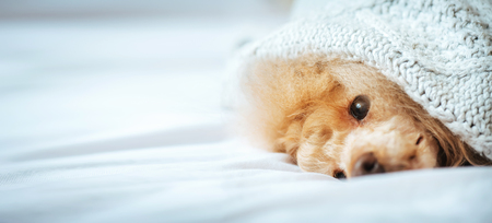 Poodle dog is lying under the blanket in bed.