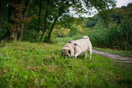 Little fat pug smelling and searching in a grass after the rain