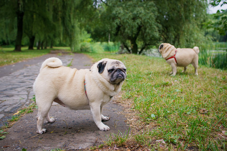 Two little pugs walking outdoors  Selective focus  on a pug with another pug out of focus in background