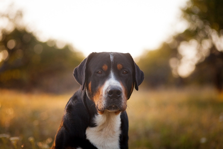 Photo for The great swiss mountain dog sitting in the grass and breathes with his tongue hanging out in sunset. The picture taken in summer in an old garden. - Royalty Free Image
