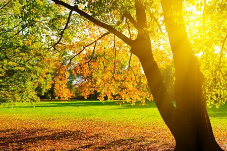 Photo for Sunlighted yellow autumn tree in a park - Royalty Free Image