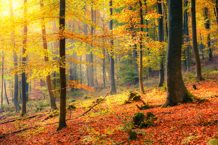 Photo for Colorful and foggy autumn forest - Royalty Free Image