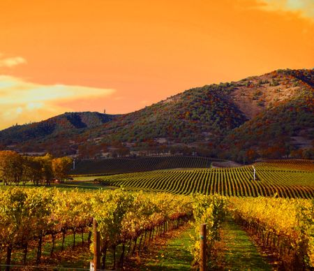 Photo pour Rows of Grape Vines in Vineyard at Sunset - image libre de droit