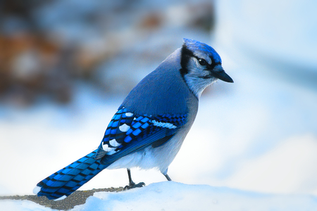 Foto de Beautiful bluejay bird - corvidae cyanocitta cristata - standing on white snow on sunny day - Imagen libre de derechos