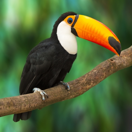 Foto de Toucan  Ramphastos Toco  sitting on tree branch in tropical forest or jungle - Imagen libre de derechos