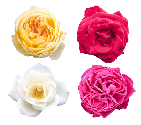 Rose pink flowers isolated on white background.