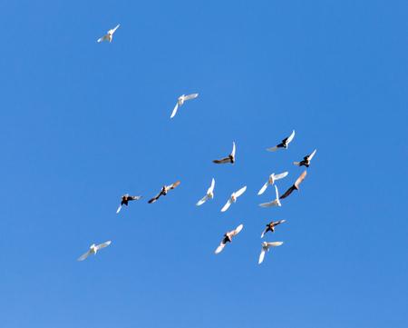 Foto de A flock of pigeons on a blue sky - Imagen libre de derechos