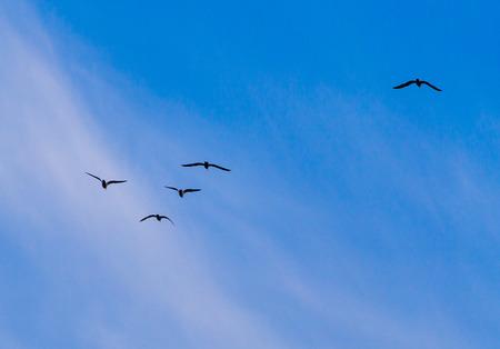 Foto de A flock of birds fly south on a blue sky. - Imagen libre de derechos