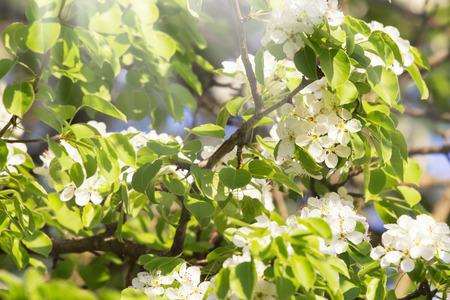 Photo pour White bradford callery pear tree blossoms - image libre de droit