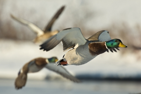 Photo for Flock of Ducks - Royalty Free Image