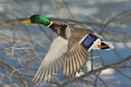 Photo for Mallard flying in the trees - Royalty Free Image