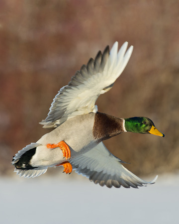 Photo for Mallard in flight - Royalty Free Image