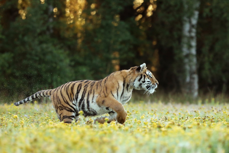 Photo pour Amur tiger running in the grass with yellow flower - Panthera tigris altaica - image libre de droit