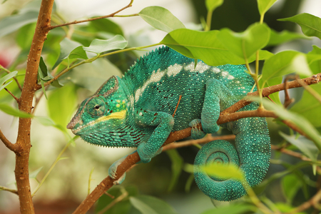 Photo pour The panther chameleon - Furcifer pardalis - is found in the eastern and northern parts of Madagascar - image libre de droit