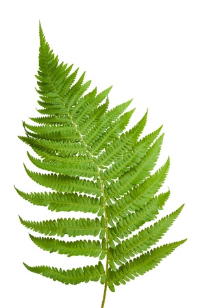 Photo for Ferns branch isolated on white - Royalty Free Image