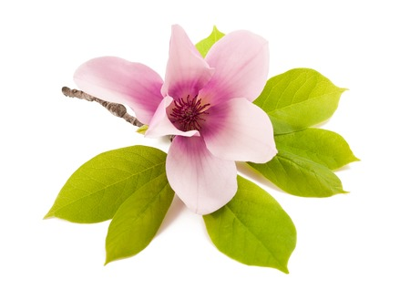 Photo for beautiful magnolia isolated on white background - Royalty Free Image
