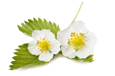 Foto de strawberry flowers and leaves isolated on white - Imagen libre de derechos