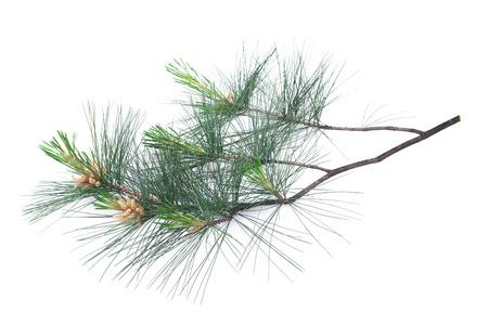 Photo pour Swiss stone pine branch isolated on white - image libre de droit