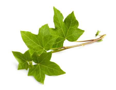 Photo pour Ivy branch isolated isolated on white background - image libre de droit