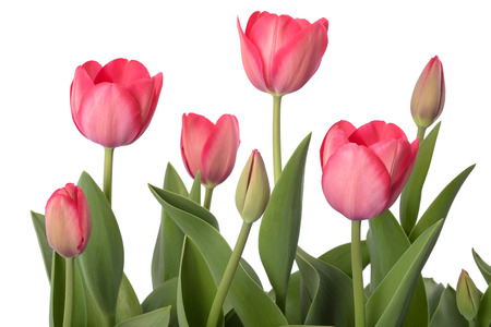 Photo for Red tulips flowers isolated on white background - Royalty Free Image