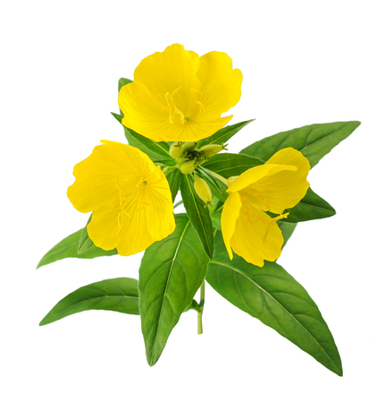 Foto de common evening primrose flowers isolated on white - Imagen libre de derechos