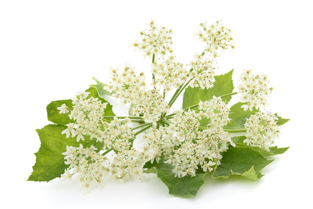 Photo for Angelica archangelica flowers isolated on white background - Royalty Free Image