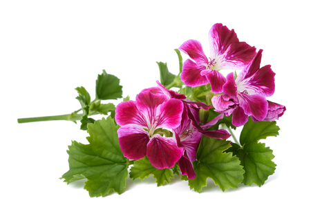 Photo for Scented Geranium flowers isolated on white background - Royalty Free Image