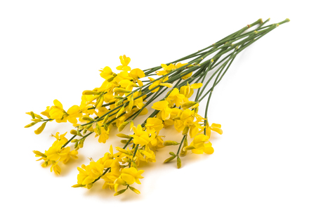 Photo for broom flowers isolated on a white background - Royalty Free Image