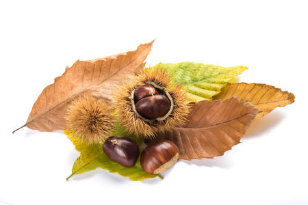 Photo for Fresh sweet chestnuts with shells isolated on white - Royalty Free Image