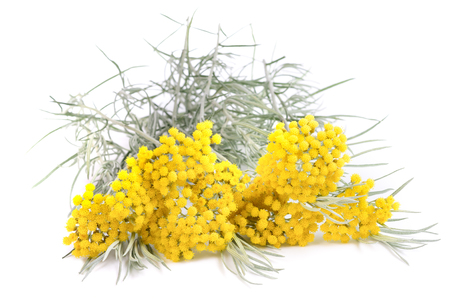 Photo for helichrysum flowers isolated on white background - Royalty Free Image