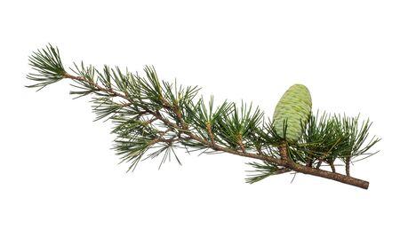 Photo pour Cedrus deodara branch isolated on white background - image libre de droit