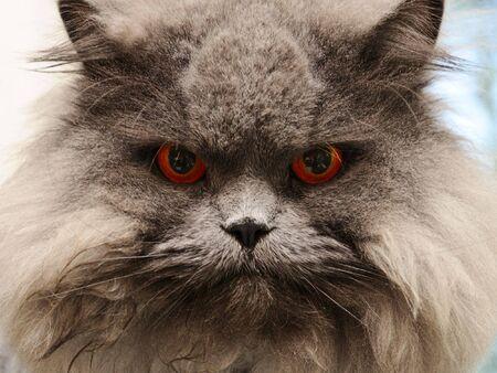 portrait serious british cat with orange eye