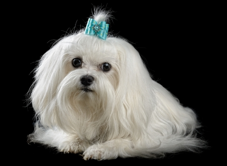 maltese dog isolated on the black background