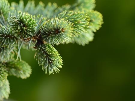 Photo pour branch blue fir tree - image libre de droit