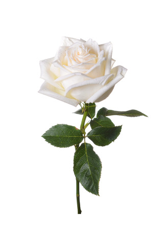 Photo pour White rose on a white background. - image libre de droit