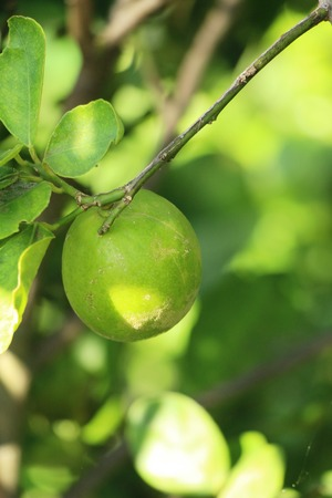 Photo for Lemon fruit on the tree with nature - Royalty Free Image