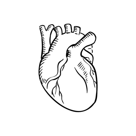 Illustration pour Human heart outline sketch. Isolated anatomical detailed organ of human circulatory system for healthcare, cardiology, anatomy or another medicine theme design - image libre de droit