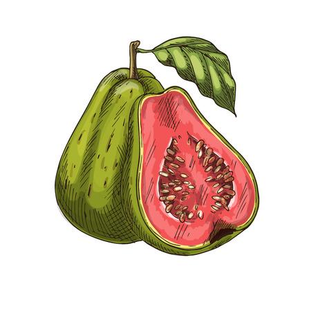 Ilustración de Guava tropical fruit vector sketch isolated icon - Imagen libre de derechos