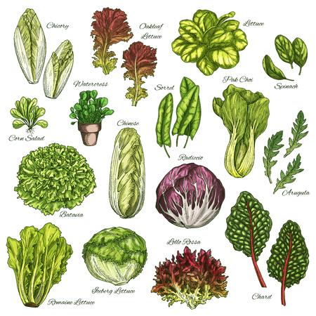 Illustration for Vector sketch icons set of salads leafy vegetables - Royalty Free Image