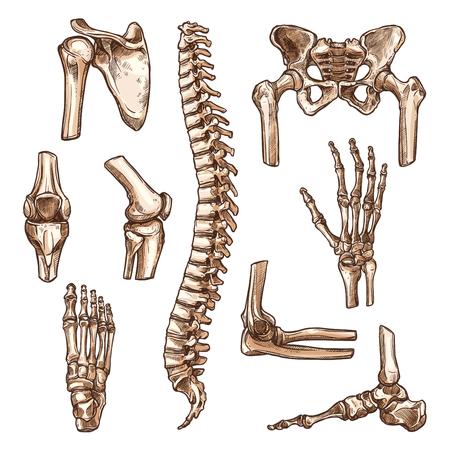 Ilustración de Bone and joint of human skeleton sketch set. Hand, hip, knee, foot, spine, arm, finger, elbow, pelvis, rib, shoulder, ankle, thorax, chest, wrist symbol for anatomy medicine, orthopedic surgery design - Imagen libre de derechos