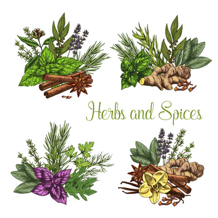 Illustration pour Herbs and spices bunches of thyme, basil or oregano and ginger or spicy chili pepper. Farm grown peppermint or arugula and natural fresh organic seasonings of rosemary. Vector sketch icons set - image libre de droit