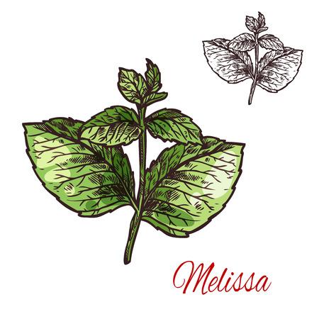 Ilustración de Melissa branch sketch of medical plant and aroma herb. Lemon balm twig with green leaf, natural ingredient for herbal medicine, drink flavoring, aromatherapy and essential oil label design - Imagen libre de derechos
