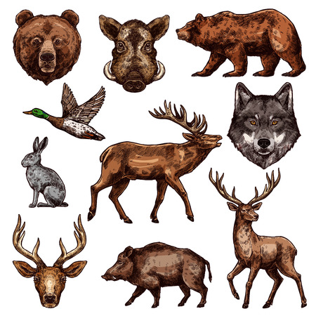 Illustrazione per Animal and bird sketch of wild forest bear, deer and duck, wolf, reindeer and grizzly, elk, boar and hare. Carnivore and herbivore animal, water and predatory bird icon for hunting sport themes design. - Immagini Royalty Free