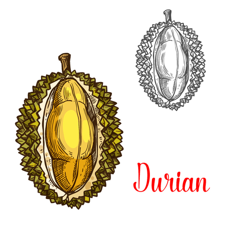 Illustration pour Durian vector sketch fruit cut icon - image libre de droit