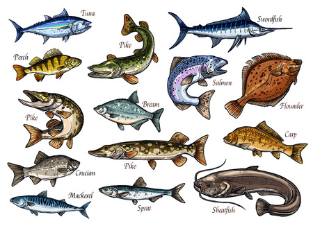 Illustration pour Fish sketches of sea, ocean and river animal for seafood and fishing sport design. Salmon, tuna and perch, carp, mackerel and flounder, pike, bream and sheatfish, sprat, swordfish and crucian icons - image libre de droit