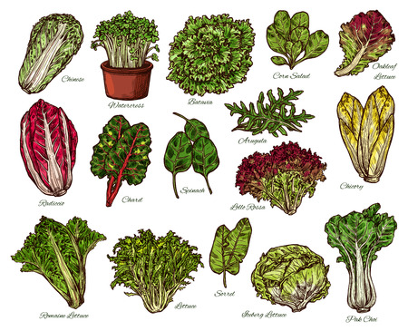 Ilustración de Vegetarian salads and lettuce vegetables sketch. Vector isolated of vegan chicory and oakleaf or iceberg lettuce, spinach or pak choi cabbage and sorrel with watercress veggie and chard - Imagen libre de derechos