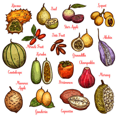 Ilustración de Exotic isolated fruits and ripe berries. Tropical star apple, date and persimmon, cantaloupe, kiwano and marang, grenadilla, kuruba and akebia, loquat, chambakka and miracle vector fruit sketches - Imagen libre de derechos