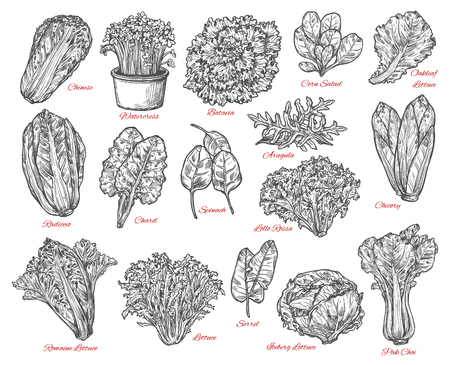 Ilustración de Leaf vegetable and salad vector sketch . Spinach, iceberg and romaine lettuce, chinese cabbage, chicory and corn salad, arugula, chard and sorrel, bok choy, watercress and batavia sketches - Imagen libre de derechos